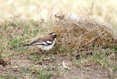 Ein schöner Weiß-browed Spatz-Weber, der Stroh für die Herstellung des Nestes nimmt Lizenzfreies Stockbild