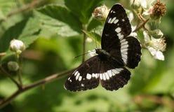 Ein schöner weißer Admiral Butterfly Limenitis Camilla, die auf einer Brombeerblume im Waldland nectaring ist Stockfotos