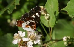 Ein schöner weißer Admiral Butterfly Limenitis Camilla, die auf einer Brombeerblume im Waldland nectaring ist Stockfotografie