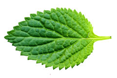 Ein schönes üppiges grünes Blatt Stockbilder