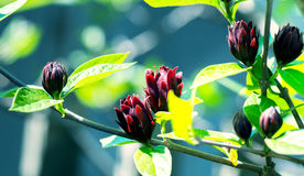 Ein schönes dekoratives calicant im Frühjahr geblüht, stockbild