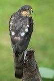 Ein schönes, die Jagd, wild, Sparrowhawk, Accipiter nisus, hockte auf einem Baumstumpf, der herum nach seiner folgenden Mahlzeit  Lizenzfreie Stockfotos