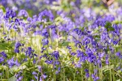 Ein schönes Feld von gebürtigen Glockenblumen in einem Holz mit unscharfem Hintergrund stockbilder