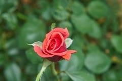 Ein schönes Foto einer roten Rose genommen mit einem Abschluss herauf Linse stockfoto