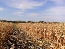 Ein schönes goldenes Maisfeld in Ukraine stockbild