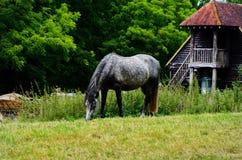 Ein schönes Pferd, das Gras in der BRITISCHEN Landschaft isst Stockbild
