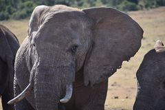 Ein schönes Porträt eines grauen großen Elefanten in Addo Elephant Park in Colchester, Südafrika Lizenzfreie Stockbilder