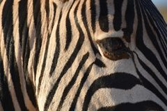 Ein schönes Porträt eines Zebras in Addo Elephant Park in Colchester, Südafrika Lizenzfreie Stockbilder