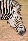 Ein schönes Porträt eines Zebras in Addo Elephant Park in Colchester, Südafrika Stockbild