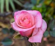 Ein schönes Rosa stieg Lizenzfreie Stockbilder