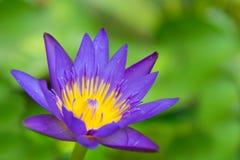 Ein schönes Rosa waterlily Stockfotografie