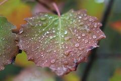 Ein schönes rot-grünes Birkenblatt in den kleinen Tröpfchen stockfotografie