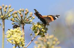 Ein schönes roter Admiral Butterfly Vanessa atalanta, das auf Ivy Flowers Hedera-Helix nectaring ist Lizenzfreie Stockfotografie