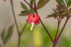 Ein schönes sonnenbeschienes einzelnes rotes und weißes blutendes Herz in der Blume stockbild