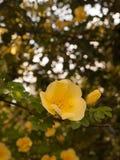Ein schönes und lokalisiertes Makro einer herrlichen und weichen gelben Sünde Lizenzfreie Stockfotos