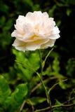 Ein schönes Weiß stieg Stockfoto