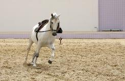 Ein schönes weißes Stallionspielen Lizenzfreie Stockbilder