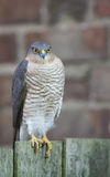 Ein schönes, wild, Sparrowhawk, Accipiter nisus, hockte auf einem Gartenzaun, der herum nach seiner folgenden Mahlzeit sucht Stockfotografie