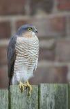 Ein schönes, wild, Sparrowhawk, Accipiter nisus, hockte auf einem Gartenzaun, der herum nach seiner folgenden Mahlzeit sucht Stockbilder
