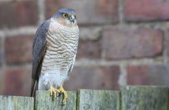 Ein schönes, wild, Sparrowhawk, Accipiter nisus, hockte auf einem Gartenzaun, der herum nach seiner folgenden Mahlzeit sucht Lizenzfreie Stockfotos