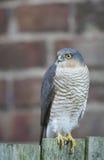 Ein schönes, wild, Sparrowhawk, Accipiter nisus, hockte auf einem Gartenzaun, der herum nach seiner folgenden Mahlzeit sucht Lizenzfreie Stockfotografie