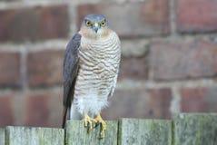 Ein schönes, wild, Sparrowhawk, Accipiter nisus, hockte auf einem Gartenzaun, der herum nach seiner folgenden Mahlzeit sucht Lizenzfreies Stockfoto