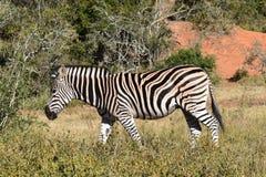 Ein schönes Zebra in Addo Elephant Park in Colchester, Südafrika Lizenzfreies Stockbild