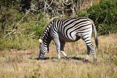 Ein schönes Zebra in Addo Elephant Park in Colchester, Südafrika Lizenzfreie Stockfotos