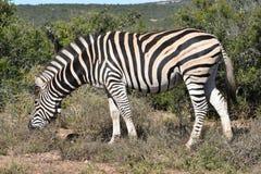 Ein schönes Zebra in Addo Elephant Park in Colchester, Südafrika Stockfotos