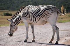 Ein schönes Zebra auf einer Straße in Addo Elephant Park in Colchester, Südafrika Lizenzfreie Stockbilder