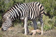 Ein schönes Zebra auf einer Wiese in Addo Elephant Park in Colchester, Südafrika Stockbild