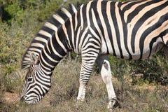 Ein schönes Zebra auf einer Wiese in Addo Elephant Park in Colchester, Südafrika Lizenzfreie Stockbilder