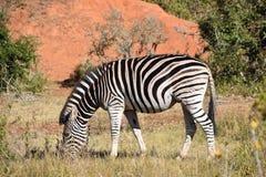 Ein schönes Zebra auf einer Wiese in Addo Elephant Park in Colchester, Südafrika Lizenzfreies Stockbild