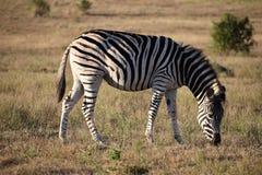 Ein schönes Zebra auf einer Wiese in Addo Elephant Park in Colchester, Südafrika Stockfotografie