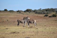 Ein schönes Zebrapaar in Addo Elephant Park in Colchester, Südafrika Stockbilder