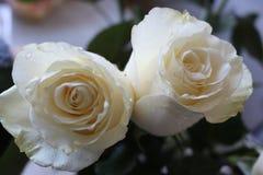 Ein sch?ner Blumenstrau? von wei?en Rosen appelliert jeder Frau Sein k?niglicher Duft erobert jedes lizenzfreies stockfoto