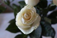 Ein sch?ner Blumenstrau? von wei?en Rosen appelliert jeder Frau Sein k?niglicher Duft erobert jedes lizenzfreie stockfotos