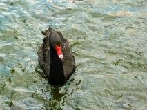 Ein sch?ner schwarzer Schwan, der auf die Seeoberfl?che schwimmt lizenzfreie stockfotografie