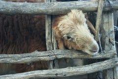 Ein Schaf über dem Zaun hinaus Stockfotografie