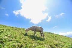 Ein Schaf auf dem Grasland bei Cingjing bewirtschaften stockfoto