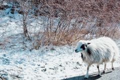 Ein Schaf auf der Straße in den Bergen bedeckt mit Schnee, mit trockenem Stockfotos