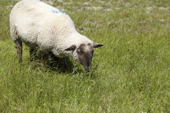Ein Schaf auf der Wiese Stockfoto