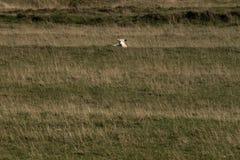 Ein Schaf, das über einem Hügel blickt stockbild
