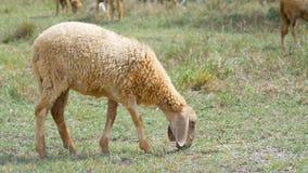 Ein Schaf, das Gras auf dem Feld geht und isst stock footage