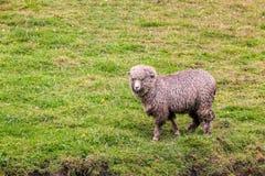 Ein Schaf in der grünen Ackerland-Wiese Lizenzfreie Stockbilder