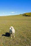Ein Schaf in der Wiese Stockbild