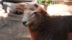 Ein Schaf in einem Zoo vom aus nächster Nähe stock footage