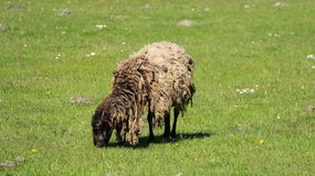 Ein Schaf Graze With Happiness stockfotos