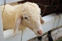 Ein Schaf innerhalb des Zauns Stockbild