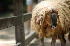 Ein Schaf ist lustig, die Kamera betrachtend Stockfotos
